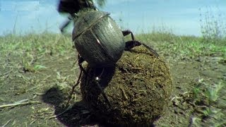 Download Kung Fu Dung Beetles | Operation Dung Beetle | BBC Earth Video