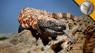 Download The Gila Monster - AMAZING Venomous Lizard Encounter! Video