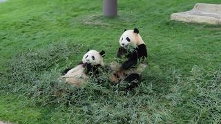 Download アドベンチャーワールドの閉園、扉が開いた音に気付いて桜浜桃浜がダッシュで帰っていく。 Dash!! Return to home. So nice twins panda. Video