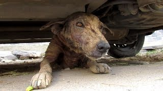 Download Hairless street dog just wants love – Pepper's story Video