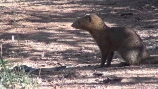 Download Slender mongoose kills black mamba - FULL VIDEO Video