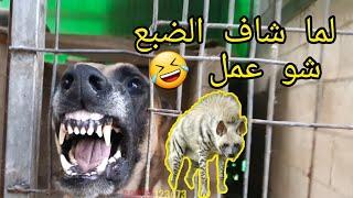 Download شاهد بالفيديو كلب المالينوا يهاجم كل شيء ولما شاف الضبع عمل نفسه مش شايف مع جمال العمواسي Video