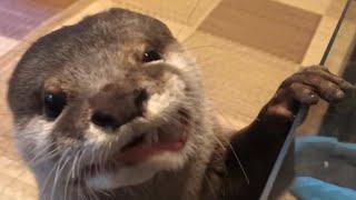 Download カワウソさくら 鯛やアジを釣ってきた! Fish caught and otter Video