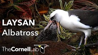 Download Cornell Lab | Kauai Laysan Albatross Cam Video