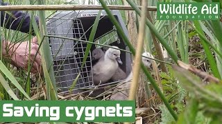 Download Tiny baby swans in need of rescue! Video