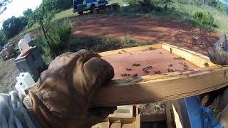 Download Traitement varroa ail et persil, ″sélection″ des souches Video
