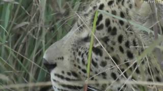 Download June 25, 2017- Sunset - Hosana is growing up to be quite a strong young Leopard Video