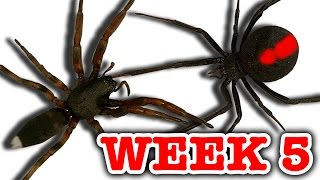 Download Redback Spider Vs White-Tailed Spider Pray For Gonzo Deadly Spiders Attack Week 5 Video