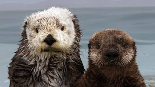 Download The Fantastic Fur of Sea Otters | Deep Look Video