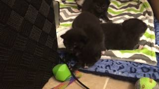 Download Wobbly Two Week Old Foster Kittens! More Alert Now :) Video
