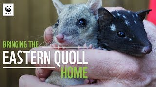 Download Bringing The Eastern Quoll Home | WWF-Australia Video