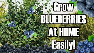 Download How to grow Blue berry plants at home (high bush) Video