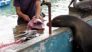Download Fishmarket, Puerto Ayora, Santa Cruz Island, Galapagos Video