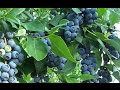 Download How to Get FREE Blueberry Plants from Store Bought Blueberries! Video