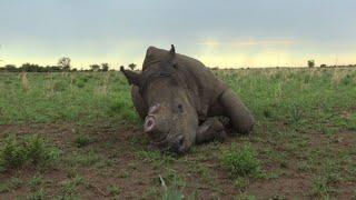 Download Afrique du Sud: un éleveur veut vendre de la corne de rhinocéros Video