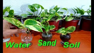 Download How to grow Money Plant from cutting in three ways very easy / money plant pothos Video