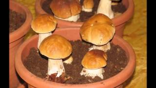 Download Porcini growth movie Video