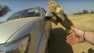 Download Lions Attack Car Full Of People Video