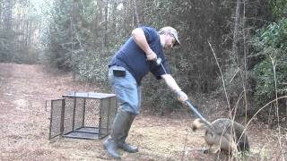 Download Removing a coyote from trap with catch pole. Video