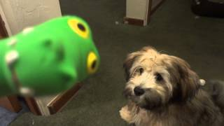 Download Havapoo Plays with Toy Video