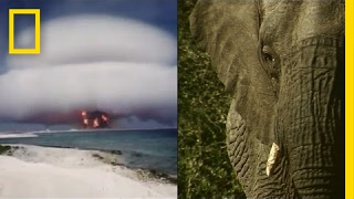 Download How Nuclear Bombs are Helping Fight Elephant Poachers | National Geographic Video