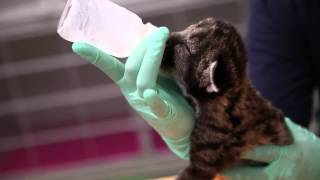 Download Three baby cougars at the Oregon Zoo Video