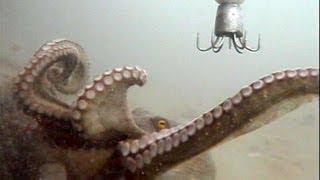 Download octpus fishing 水中で見るタコ釣りの一部始終 Video