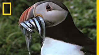 Download Empowering Puffins | National Geographic Video