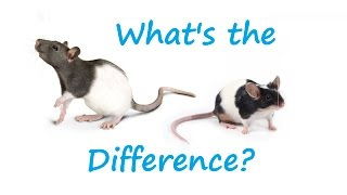 Download What's the Difference Between Rats and Mice? Video
