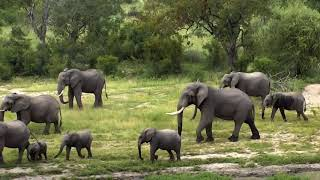 Download Djuma Private Game Reserve Live Stream: Day filled with Elephants Video