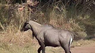 Download Only in Indian Continental Animal Nilgai or Blue bull Closeup video Video