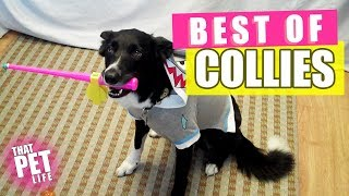Download Best Border Collies of 2019 🐶 | Funny Pet Videos Video