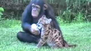Download Chimpanzé adota filhote de puma Video