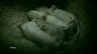 Download Sabertoothed Rat is Something Out of a Nightmare Video