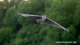 Download Night-Herons In Flight (Filmed with a Sony Rx10 Mark IV) Video