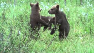 Download Brown bear cubs in Finland Video