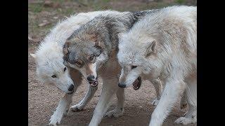 Download International Wolf Center - Exhibit Pack Video