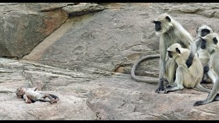 Download Langur Monkeys Grieve Over Robot Monkey Video