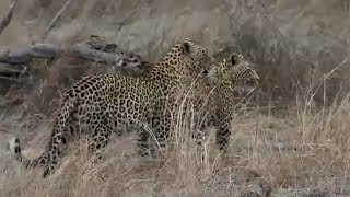 Download SafariLive - Lion, Leopards and a cute Hyena baby!. Video
