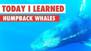 Download Today I Learned: Humpback Whales Video