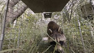 Download A Raccoon Family Invades A Boston Apartment | Intruders Video