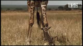 Download Battle at Kruger: Mother Love! (Giraffe vs Hyena) Video
