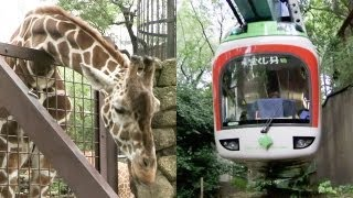 Download キリンやカバも登場!上野動物園モノレール Part2【レイルリポート #06】Giraffe and Hippopotamus appear! Ueno Zoo Monorail Video