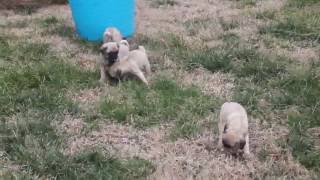 Download Pug Puppies For Sale Video