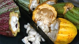 Download Where Chocolate Comes From (cocoa 101) #Gallivanting | CaribbeanPot Video