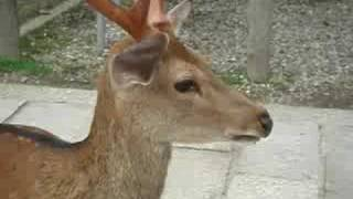 Download Deer noise Video