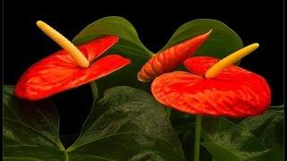 Download 10 комнатных растений, которые принесут ЛЮБОВЬ в ваш дом Video