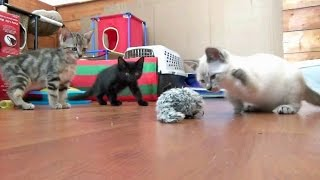 Download Foster Kittens vs. The Pull Toy Video