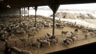 Download Ontario Lamb Farming Video