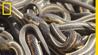 Download Too Much Sex Is Killing These Male Snakes | National Geographic Video